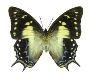 polyurapyrrhus-pyrrhus-m