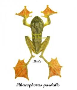 rhacophorus-pardalis-male