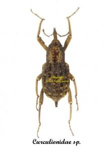 curculionidae-16