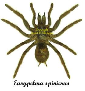 eurypelma-spinicrus