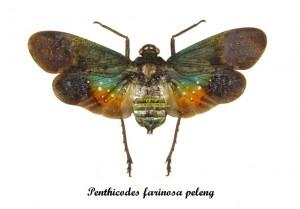 bug-penthicodes-farinosa-peleng
