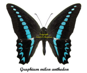 bug-graphium-milon-anthedon