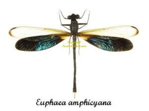 euphaea-amphicyana