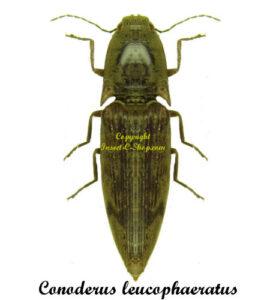 conoderus-leucophaeratus