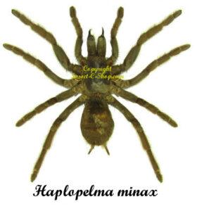 haplopelma-minax