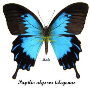 papilio-ulysses-telegonus-male