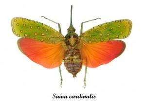 saiva-cardinalis