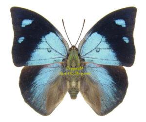 anaea-praxias
