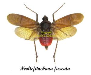 neolieftinckana-fuscata
