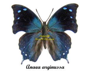 anaea-arginussa
