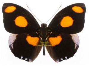 catonephele-numilia-numilia-male-1