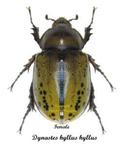 dynastes-hyllus-hyllus-female