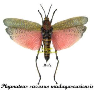 phymateus-saxosus-madagascariensis-male