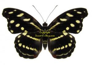 catonephele-ancontius-female