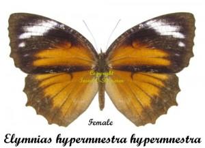 elymnias-hypermnestra-hypermnestra-female