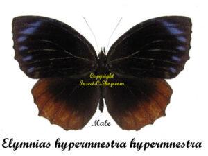 elymnias-hypermnestra-hypermnestra-male