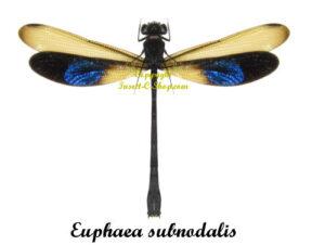 euphaea-subnodalis