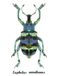 eupholus-mimikanus