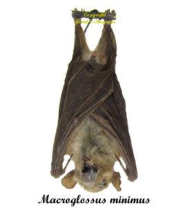 macroglossus-minimus-hanging