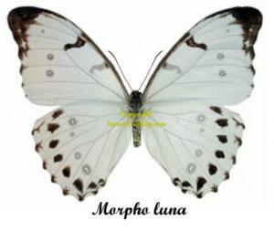 morpho-luna