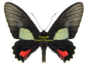 parides-vertumnus-autumnus