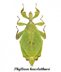 phyllium-hausleithneri-female