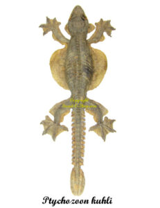 ptychozoon-kuhli