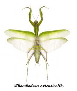rhombodera-extensicollis