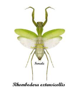 rhombodera-extensicollis-female
