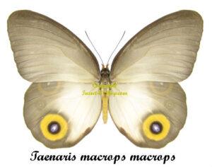 taenaris-macrops-macrops