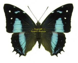 baeotus-amazonicus-male
