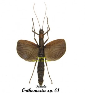 orthomeria-sp01-female