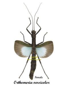 orthomeria-versicolor-female
