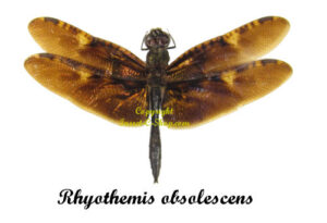 rhyothemis-obsolescens