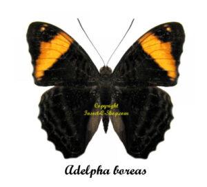 adelpha-boreas