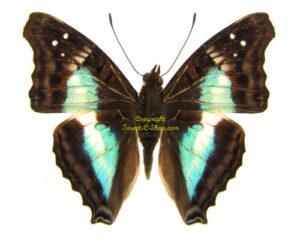 doxocopa-lavinia