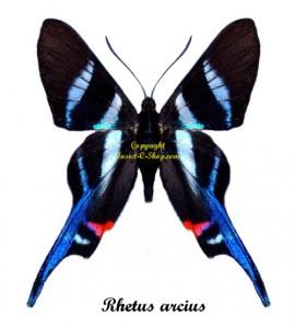 rhetus-arcius