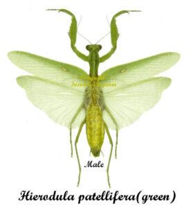 hierodula-patellifera-green-m