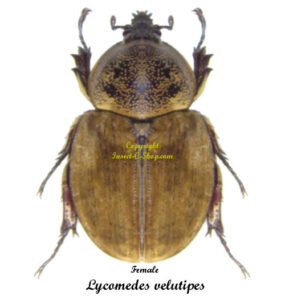 lycomedes-velutipes-female