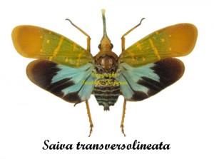saiva-transversolineata