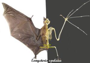 eonycteris-spelaea-half-skeleton