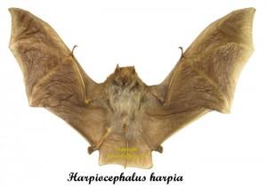harpiocephalus-harpia