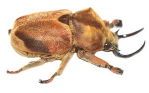 didrepanephorus-mucronatus