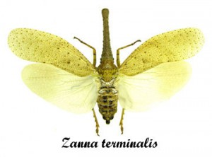 zanna-terminalis