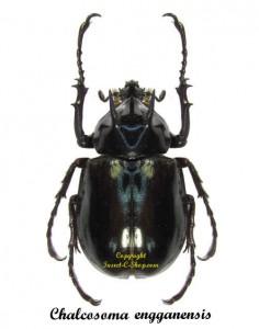 chalcosoma-engganensis