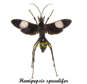 hemipepsis-speculifer