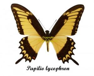 papilio-lycophron
