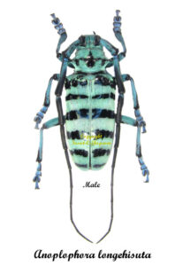 anoplophora-longehisuta-male