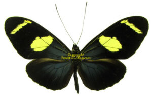 heliconius-wallacei-flavescens