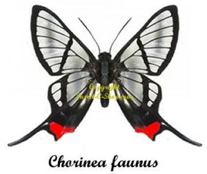 chorinea-faunus